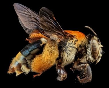 Centris decolorata, Female. Puerto Rico. Source: USGS Bee Inventory.