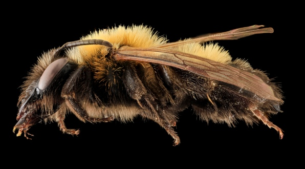 Andrena milwaukeensis, Female. Maine, United States of America. Source: USGS Bee Inventory.