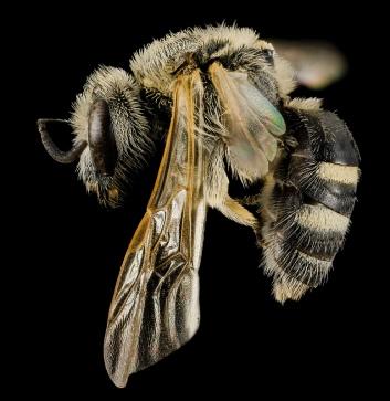 Lasioglossum paraforbesil, Female. South Dakota, United States of America. Source: USGS Bee Inventory.