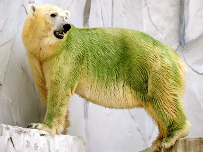 Polar bear fur with algae