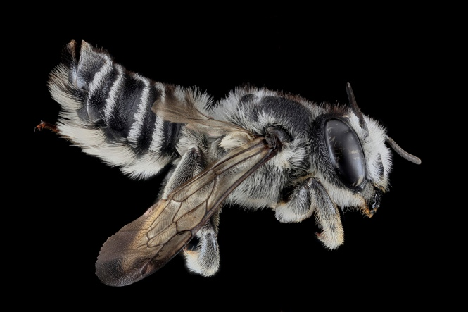 Megachile texana, Female. Maryland, United States of America. Source: USGS Bee Inventory.
