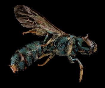 Ceratina mikmaqi, Female. Maryland, United States of America. Source: USGS Bee Inventory.