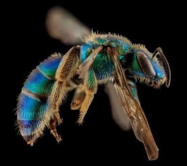 Augochloropsis sumptuosa, Female. North Carolina, United States of America. Source: USGS Bee Inventory.