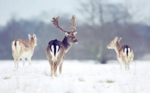 Fallow deer (Dama dama) in the snow at Klaarfontein Guest Farm.  Author: Klaarfontein Guest Farm (goo.gl/1hrWTt)