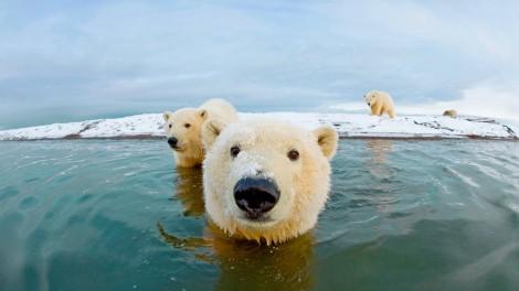 Polar Bears at Bernard Spit, AK.  Photo credit: Polar Bear at Bernard Spit, Alaska.  Photo credit: Steven Kazlowski/ Barcroft Media  (http://www.lefteyepro.com/biography.html)