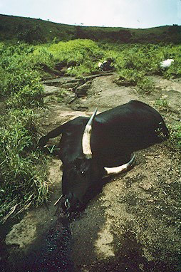 Dead livestock following the Lake Nyos disaster. Source: USGS