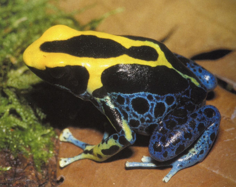 Dendrobates tinctorius morph
