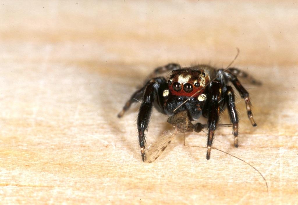 "The ""vampire spider"" (Evarcha culicivora)"