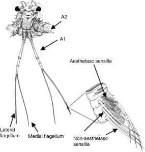 Chemosensory organs of spiny lobsters. A1, first antenna or antennule; A2, second antenna. A1 bifurcates after the basal segments into the lateral and medial flagella, which share many of the same non-aesthetasc sensilla. However, only the lateral flagellum contains rows of aesthetasc sensilla. Figure modified from Schmidt et al. (Schmidt et al., 2006).