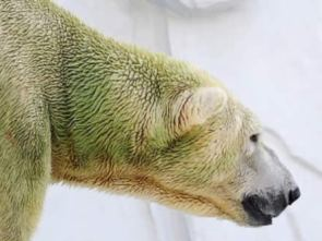 Polar bear fur with algae growth. Source: Higashiyama Zoo, Japan, 2008.