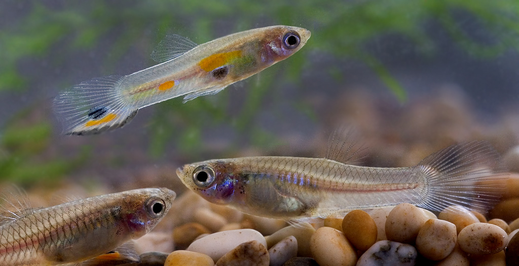 Male and female guppies (Poecilia reticulata)