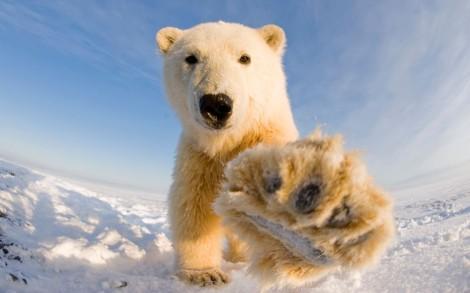 Polar Bear at Bernard Spit, Alaska.  Photo credit: Stephen Kazlowski/ Barcroft Media (http://goo.gl/SE9rl3)