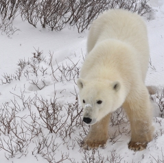 Polar bear (U. maritimus).  Source: Wikimedia Commons