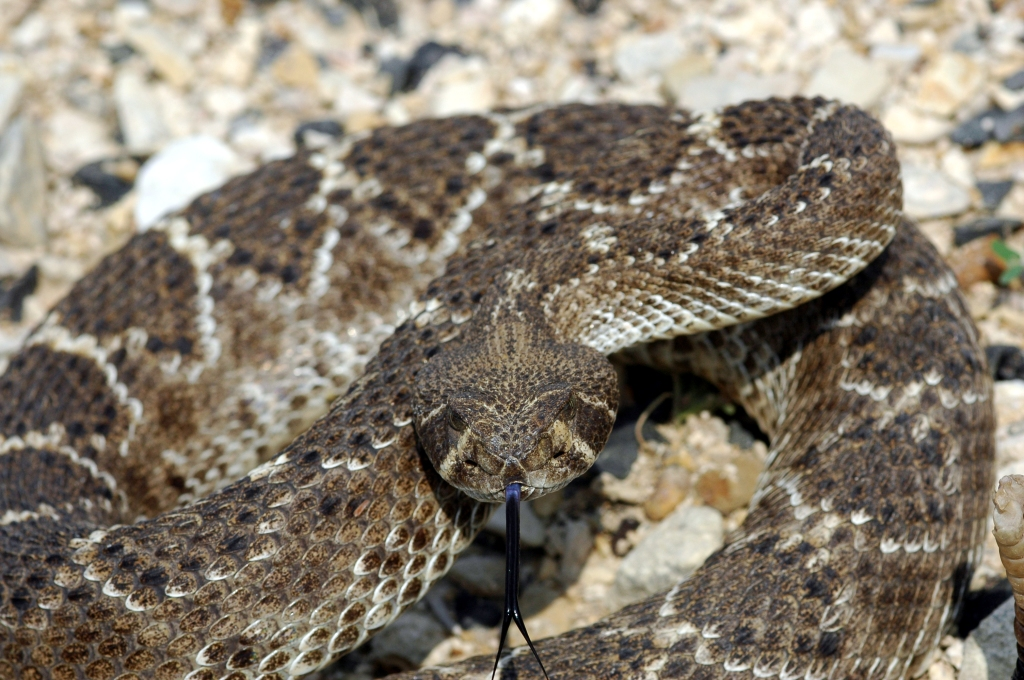 Western Diamondback Rattlesnake (C. atrox).  Photo Credit: Clinton and Charles Robertson (Wikimedia Commons)