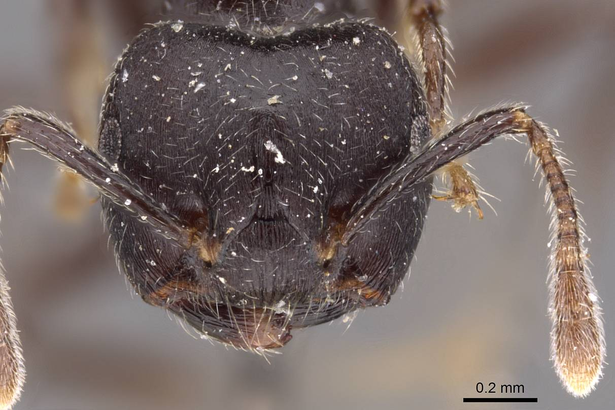 Crematogaster mimosae (head view)