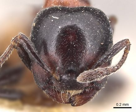 Crematogaster nigriceps (head view)