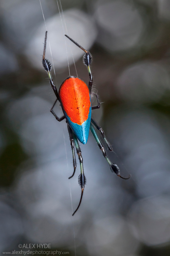 Opadometa sp. spider (Borneo)