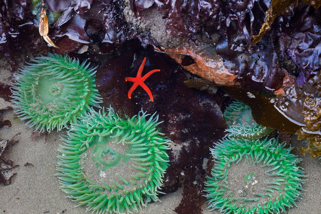 Blood Star and Giant Green Anemone, Olympic National Park