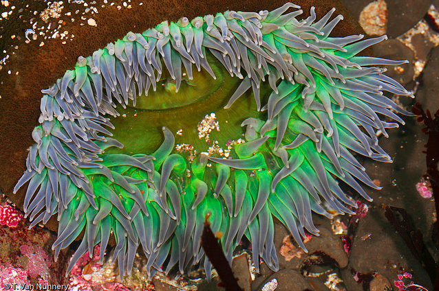 Giant green anemone (Anthopleura xanthogrammica), Fitzgerald Marine Reserve, San Mateo County, CA.