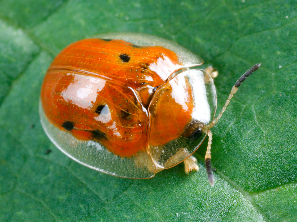 Golden tortoise beetle in red coloration with black spots