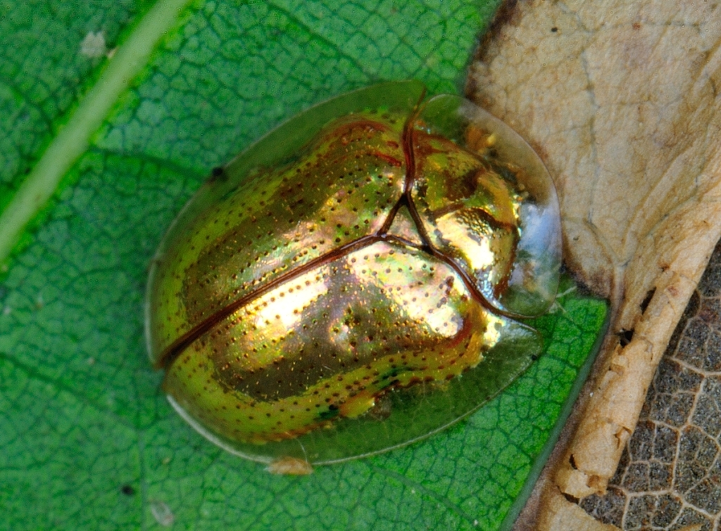 Golden tortoise beetle in resting state