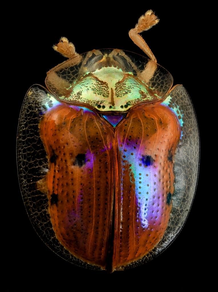 Golden tortoise beetle specimen