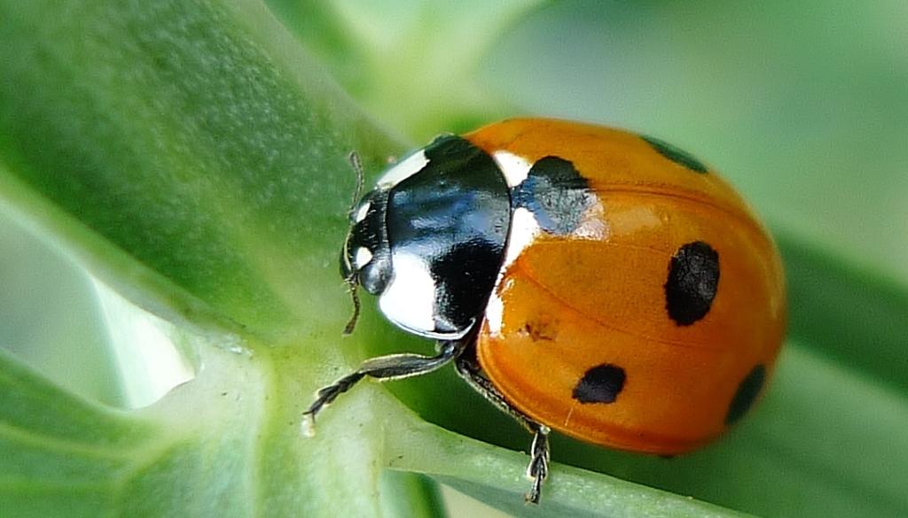 Ladybird beetle (Coccinellidae)