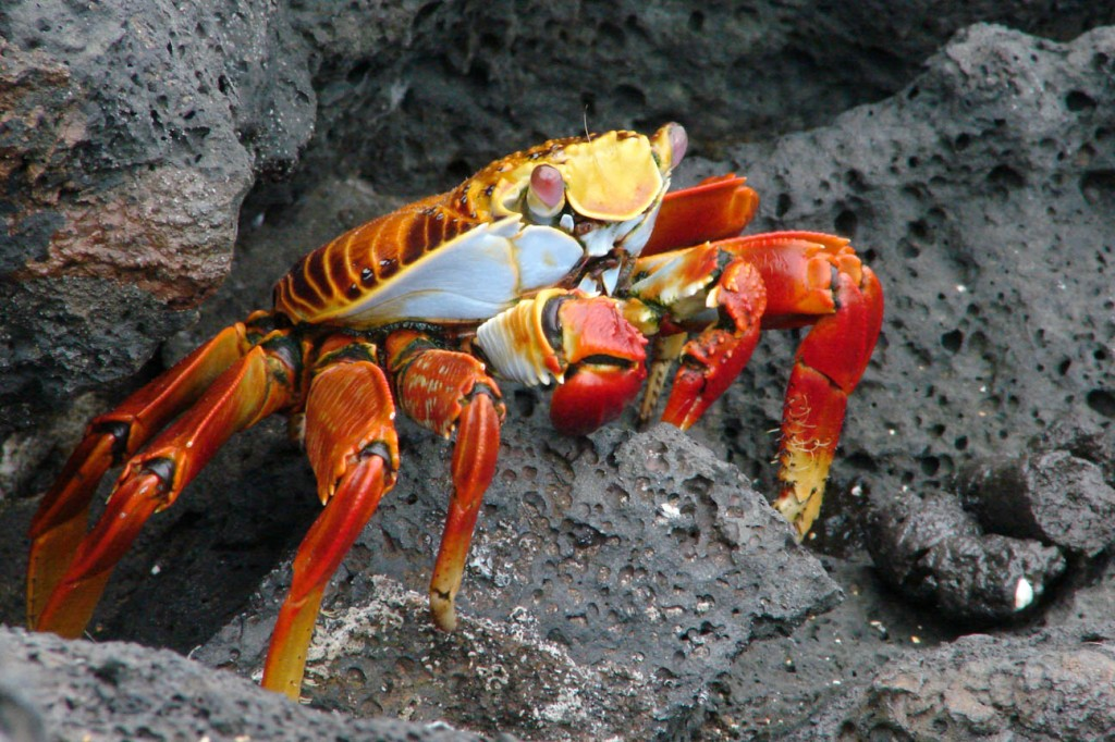 Sally Lightfoot Crab (Grapsus grapsus)