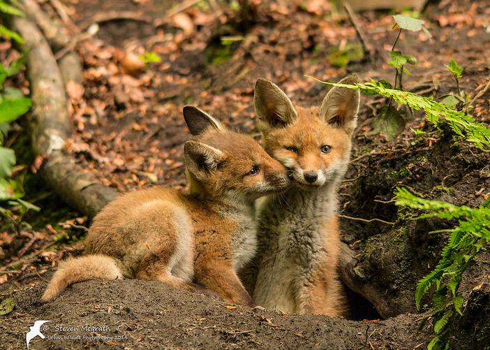 Urban fox kits at den entrance