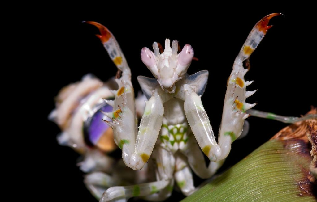 Spiny Flower Mantis (Pseudocreobotra wahlbergii) by Frupus via EOL/Flickr (Source: http://goo.gl/fTZxkE)