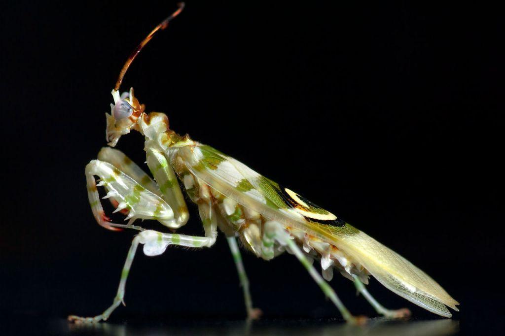 Spiny Flower Mantis (Pseudocreobotra wahlbergii) by Frupus via EOL/Flickr (Source: http://goo.gl/qBHuy0)