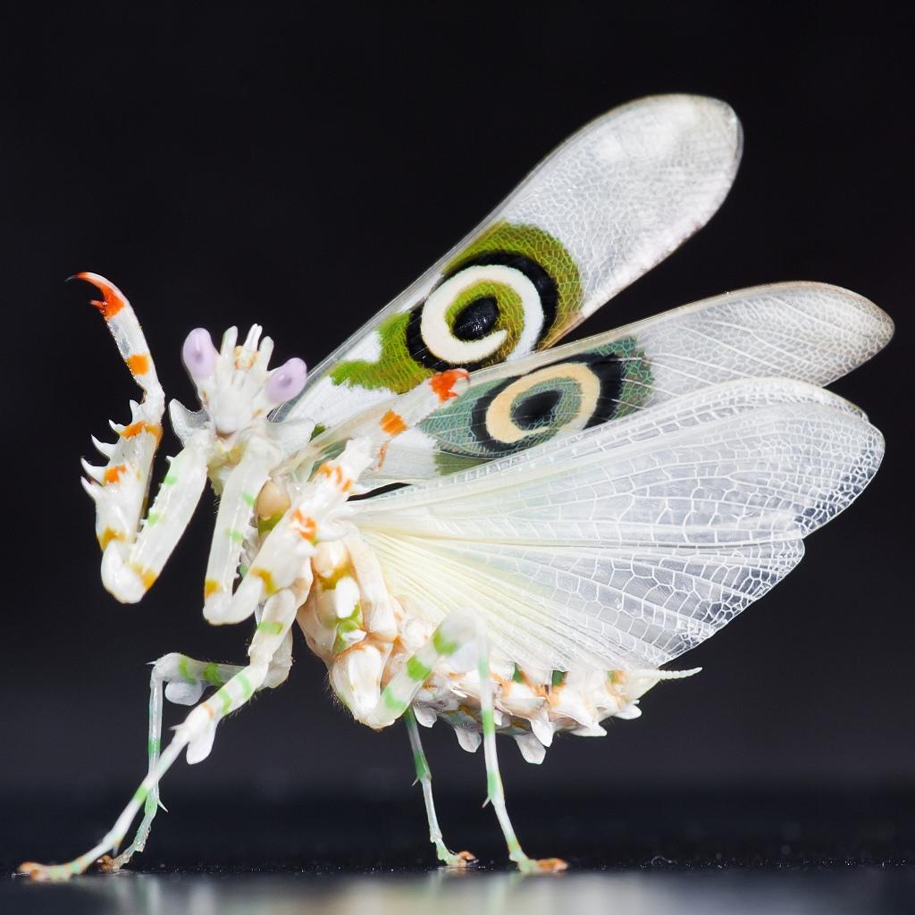 Spiny Flower Mantis (Pseudocreobotra wahlbergii) by Frupus via Flickr (Source: http://goo.gl/lVKIhT)