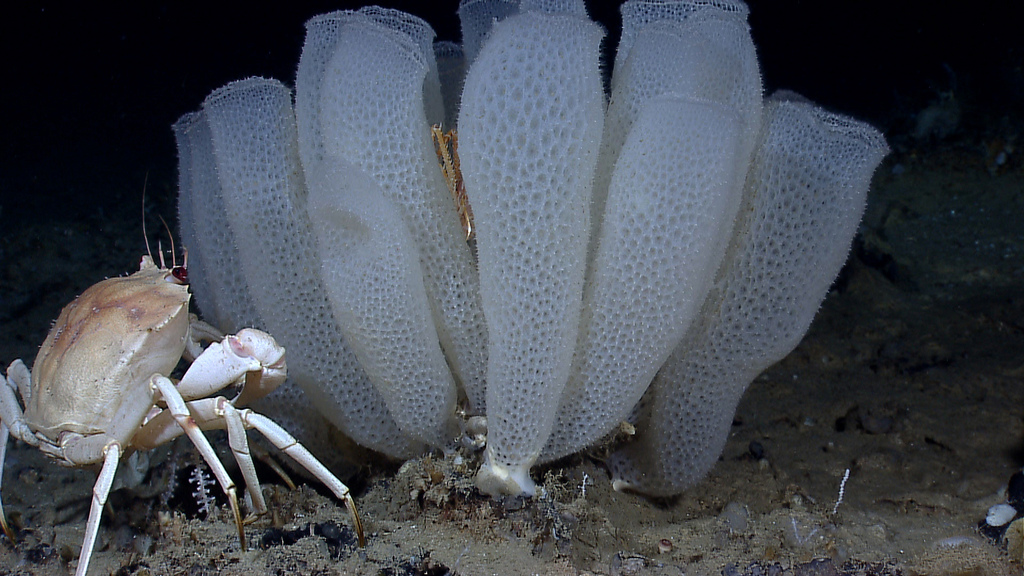 A golden crab (Chaceon fenneri) contemplates a spectacular group of Venus flower basket glass sponges (Euplectella aspergillum). Source: NOAA (http://bit.ly/1qmBgg4)