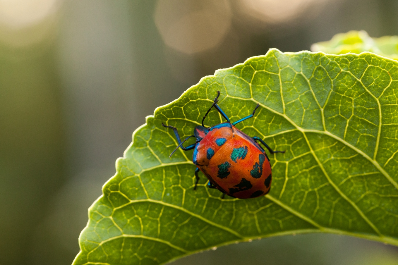 Tectocoris diophthalmus (Cotton Harlequin Bug) Photo: Sam Collins http://goo.gl/LvVOZ6