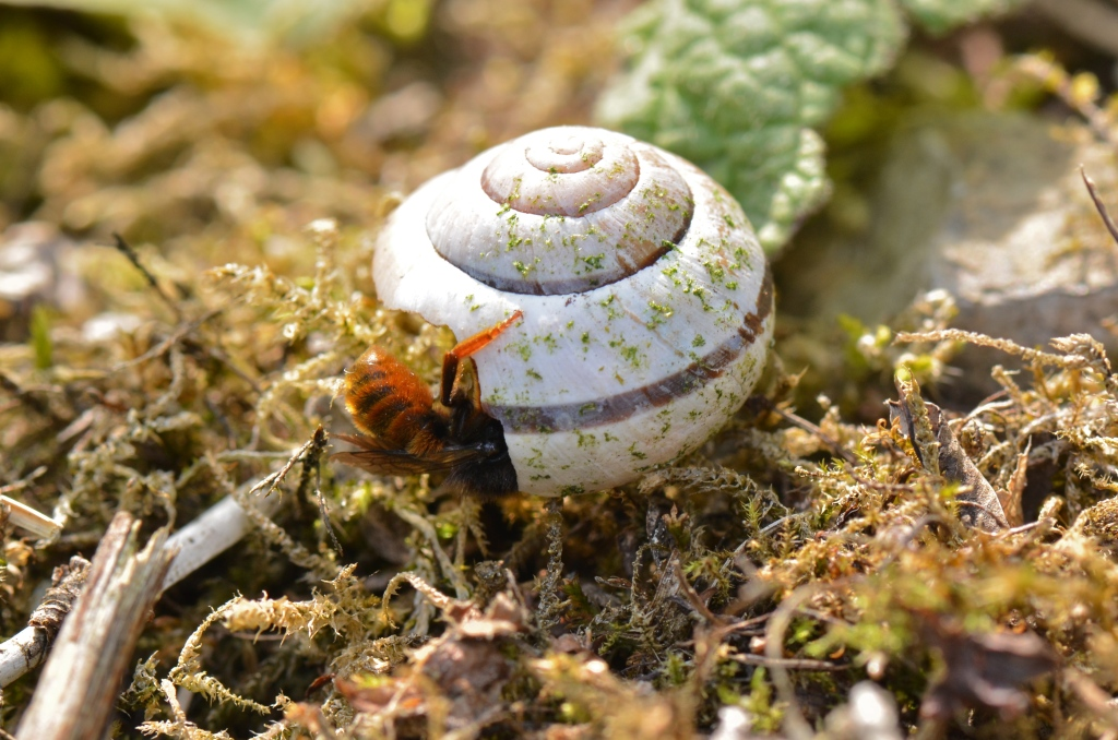 Osmia bicolor preparing a nest in a snail shell.