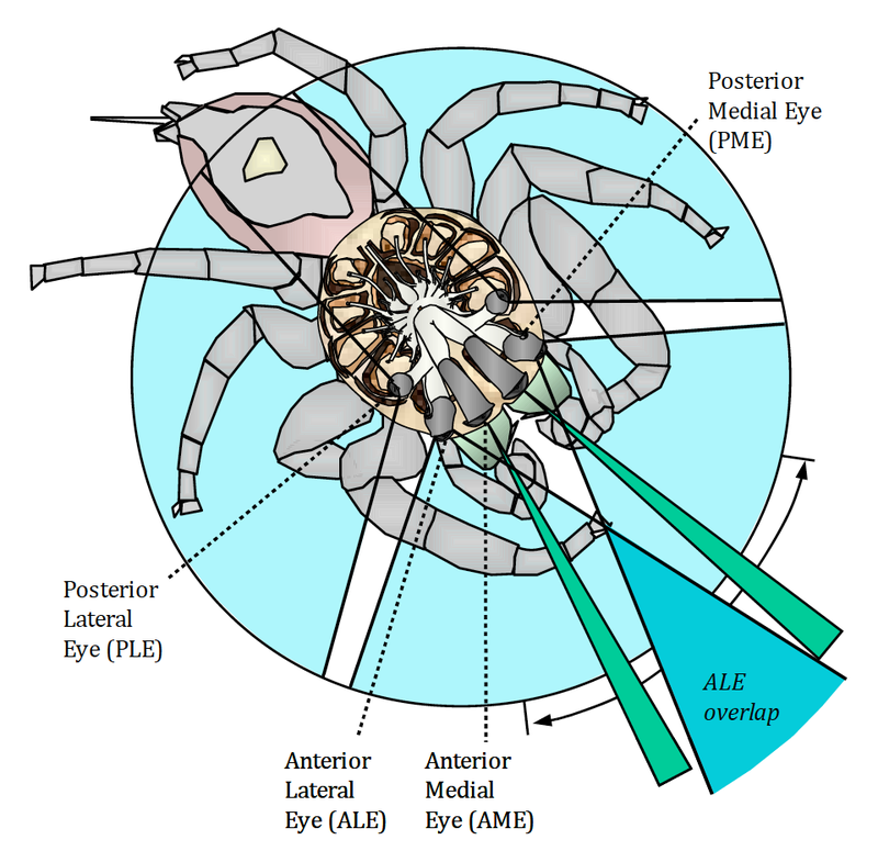 Illustration of jumping spider vision by David Hill (http://goo.gl/JdQdxq)