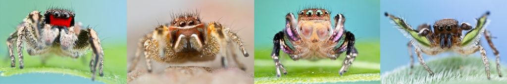 Left to right: H. coecatus, H mustaciata, H. hallani, H. calcaratus. (Images: Colin Hutton - http://www.colinhuttonphotography.com/spiders)