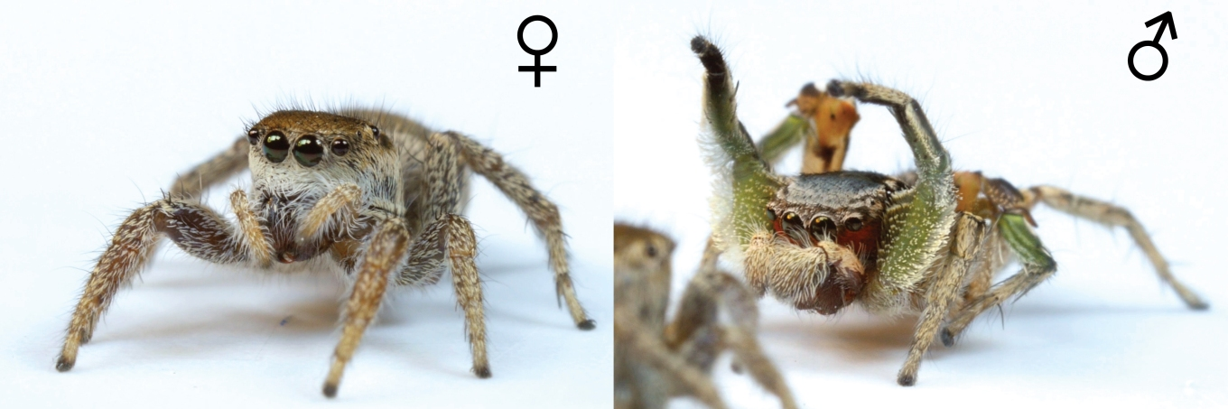 Habronattus pyrrithrix female and male.  Photo: Danel Zurek (http://goo.gl/ZzCZt1)