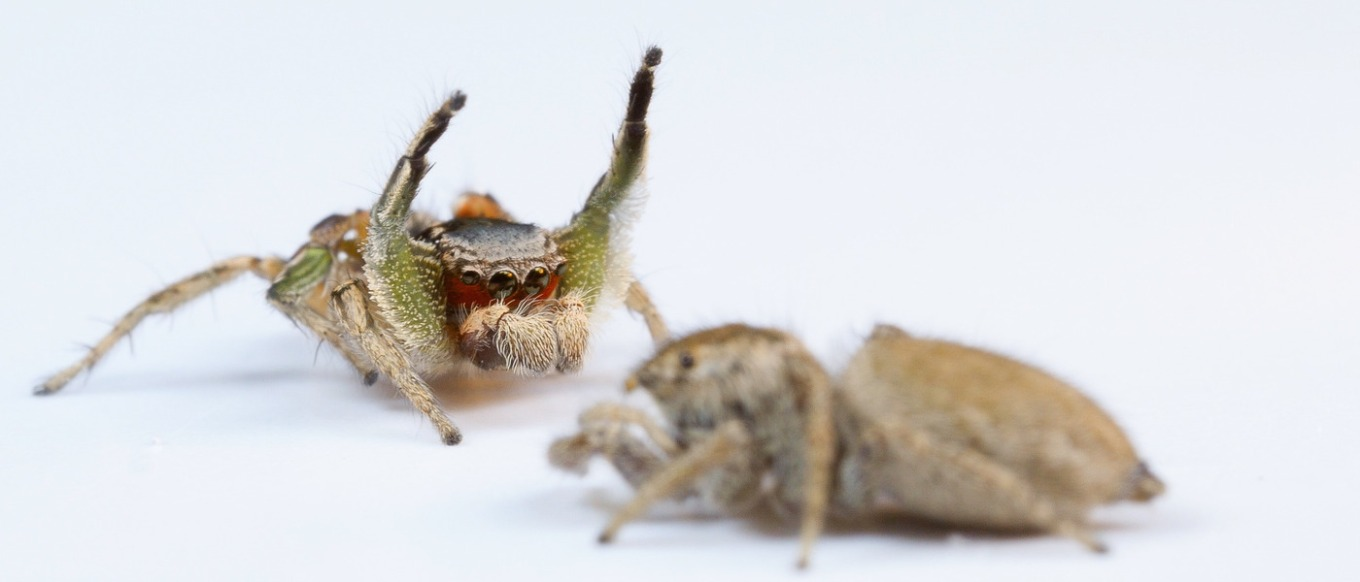 Habronattus pyrrithrix courtship display.  Photo: Danel Zurek