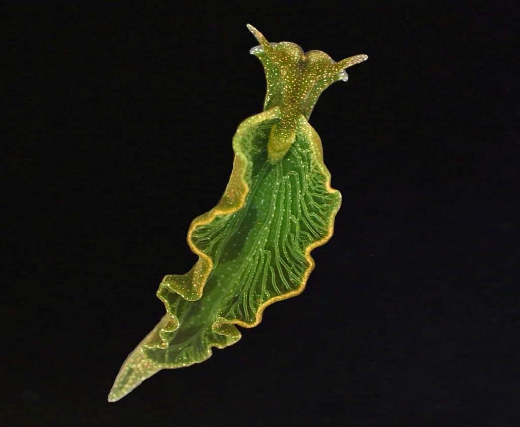 Elysia chlorotica. Photo: New Scientist.