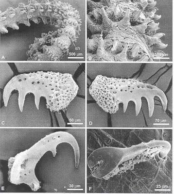 Gorgonocephalus spine morphology.  Image: Rosenberg et al., 2005