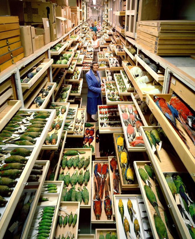 Feather identification expert Roxie Laybourne surrounded by specimens from the SI NMNH avian collection (Chip Clark, SI)