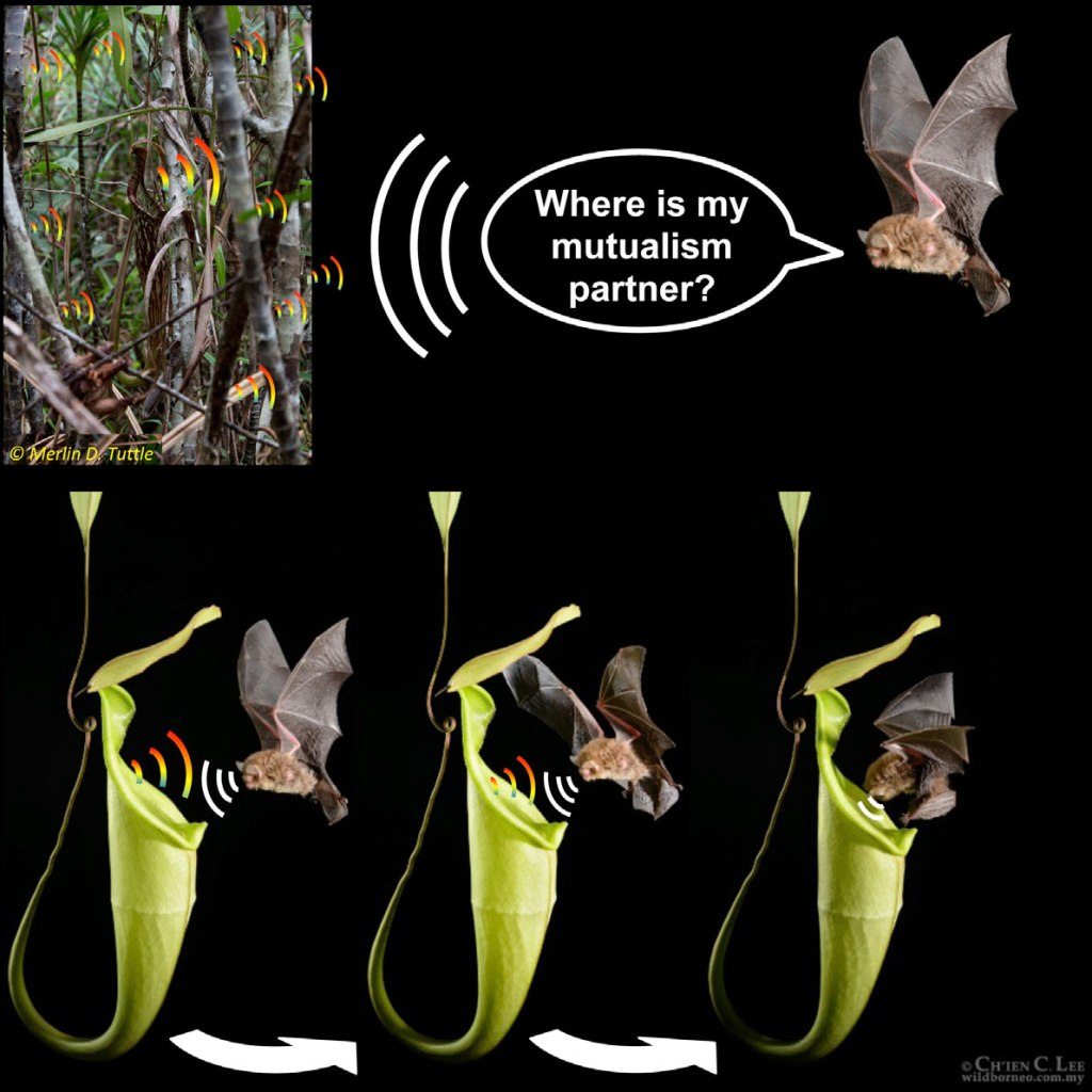 Adorable graphic from the Schöner paper on Nepenthes-bat acoustic attraction.