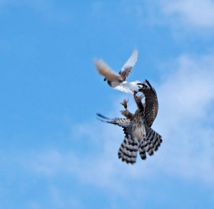 "A trained goshawk pursues a pigeon. Photo: ""raptrlvr"""