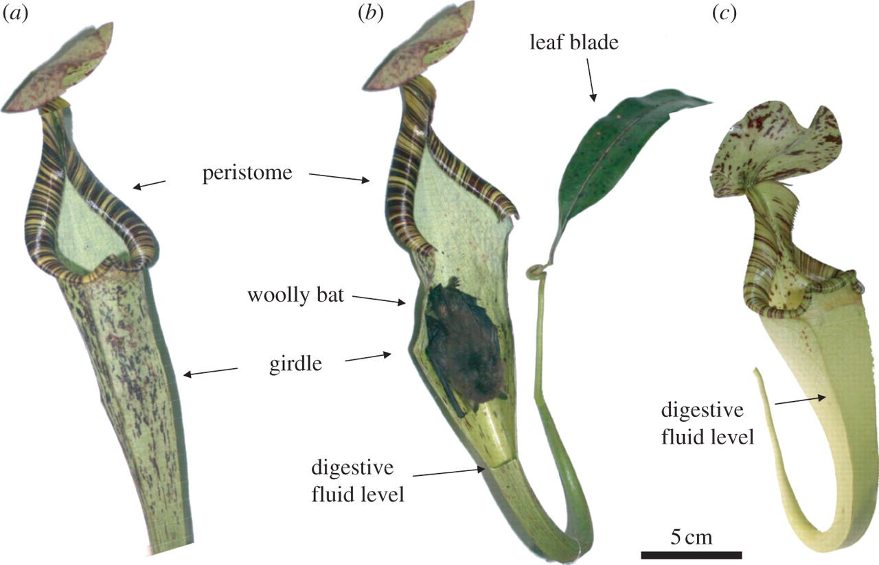 Service benefit provided by N. r. elongata to K. h. hardwickii. (a) Aerial pitcher of N. rafflesiana var. elongata. (b) The same pitcher with the front tissue removed to reveal a roosting Hardwick's woolly bat. (c) The shorter aerial pitcher of N. rafflesiana variety typica. Credit: T. Ulmar Grafe, et. al.