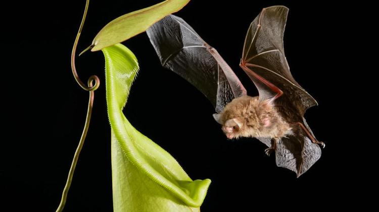 Wooly bat and pitcher plant.  Photo: Ch´ien C. Lee