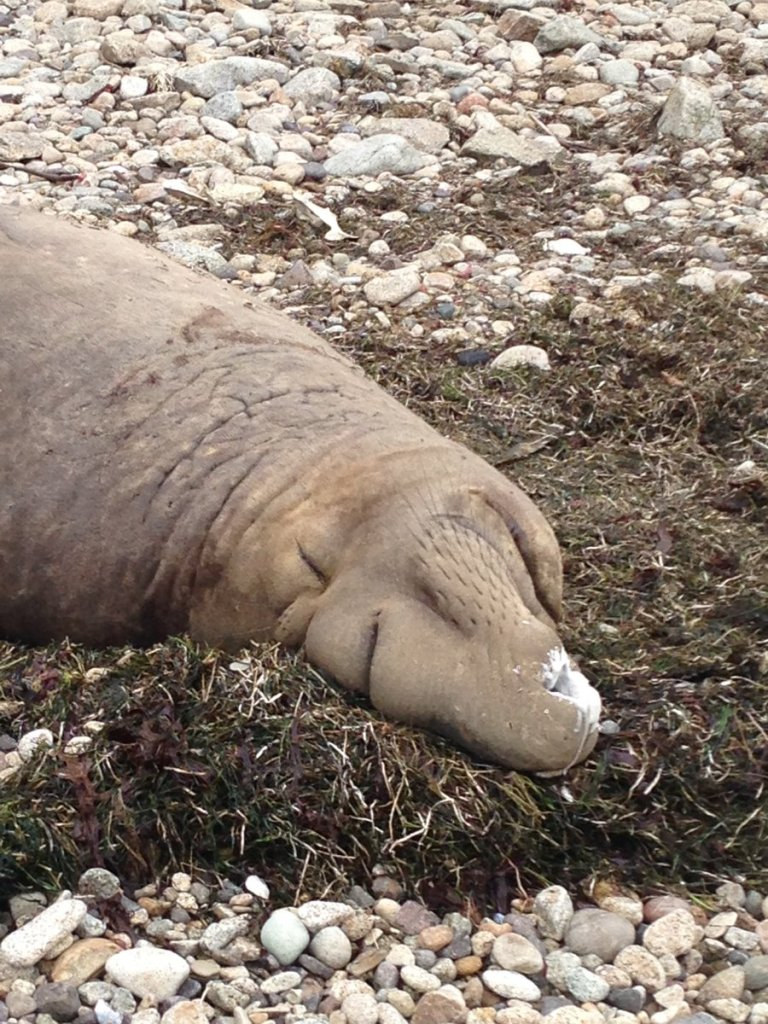 Snoozing male elephant seal with pulmonary surfactant around a nostril