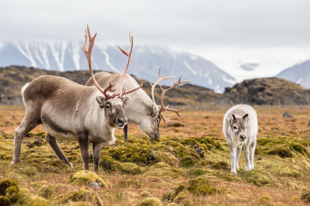 Wild arctic reindeer (Rangifer tarandus)